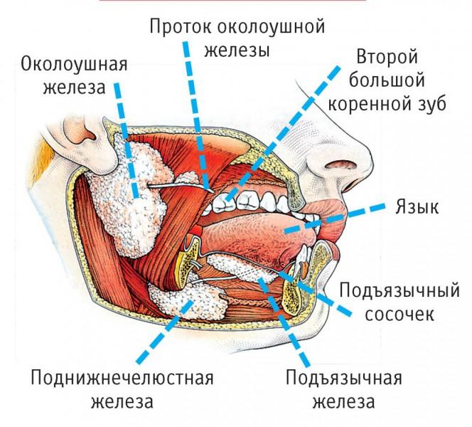 слюнные железы где находятся фото