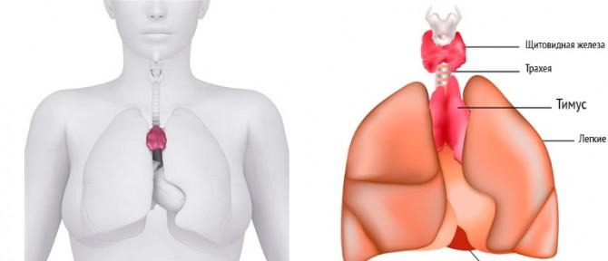 Розположение щитовидной железы
