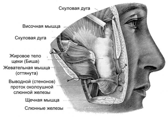 Рак щеки