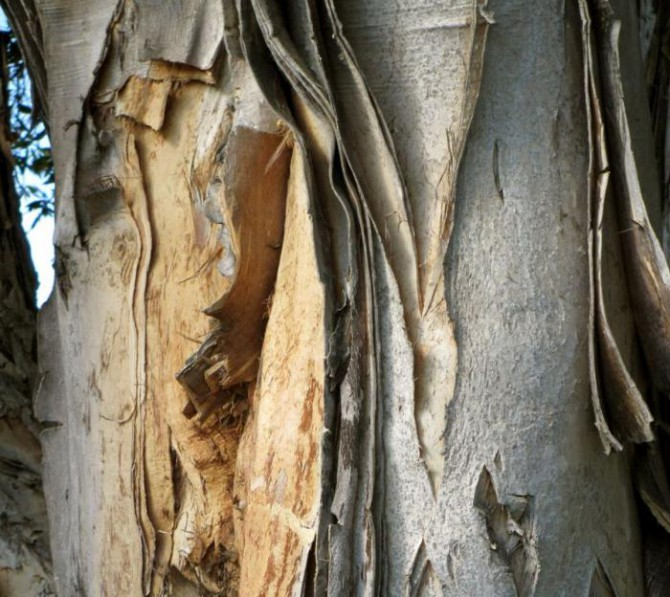 Кора осины при аденоме простаты