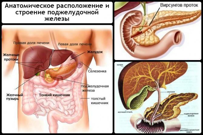 Анатомическое расположение и строение поджелудочной железы
