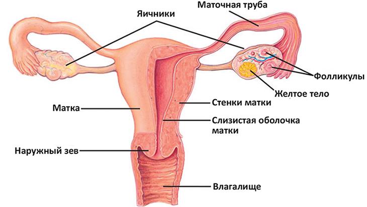 Женское строение матки