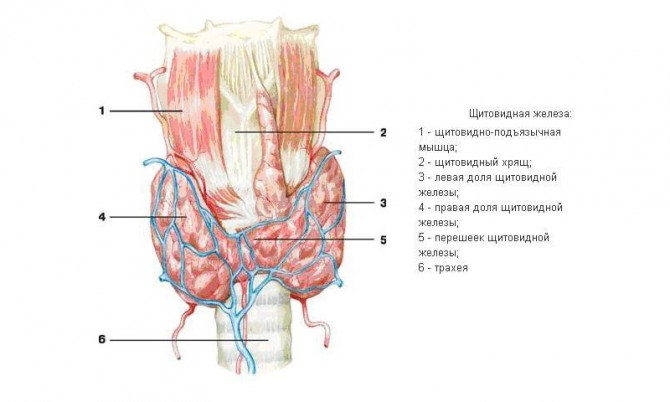 Токсическая аденома щитовидной железы
