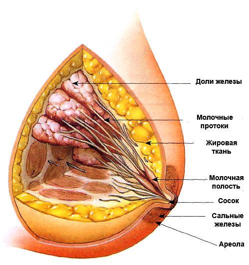 Строение молочной жлезы