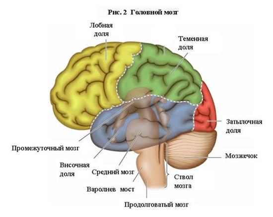 тебя рисунки головного мозга человека постоянном ношении постепенно